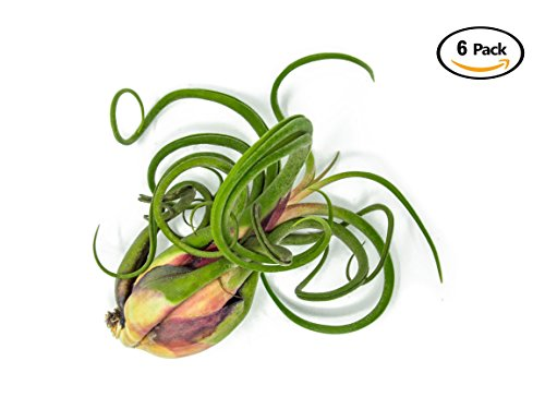 6 Giant Tillandsia Caput Medusae Air Plants - 8 to 10 inch - Live House Plants for Sale - Indoor Terrarium Air Plant