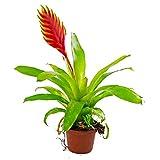 1 Red Bromeliad vriesea