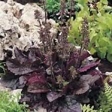 40+ Purple Volcano Salvia Drought Tolerant / Perennial Flower Seeds