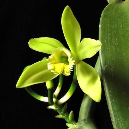 Amazon Com Vanilla Planifolia Spice Plant Live Orchid Vanilla