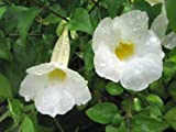 White Kings Mantel Tropical Plant Thunbergia Erecta Rare White Flower Cultivar AKND-097