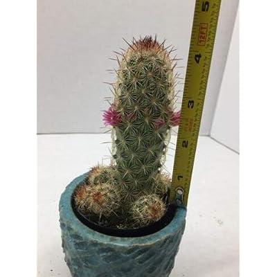 Cheap Beautiful Beautiful Mammillaria Nymph Cactus Succulent Live Plant Get 1#AEP01YN : Garden & Outdoor