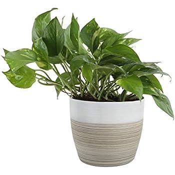 Amazon Com Costa Farms Devil S Ivy Golden Pothos White