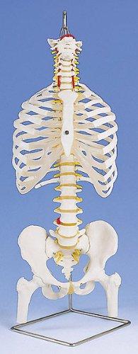 3B社 脊柱模型 脊柱可動型モデル胸郭大腿骨付 (a56-2)   B003Z2Q1RG