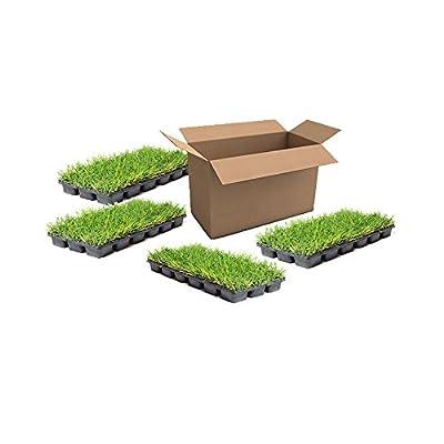 Empire Zoysia Grass Plugs / 72 Plugs per Box