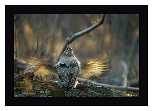 Ruffed Grouse Male Drumming During Courtship, North America by Michael Quinton 20