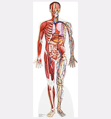 Anatomy Cross Section - Advanced Graphics Life Size Cardboard Standup