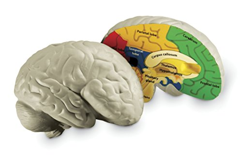 Learning Resources Cross-section Brain Model>