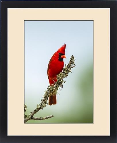 Framed Print of USA, Texas, Hidalgo County. Male cardinal on limb by Fine Art Storehouse