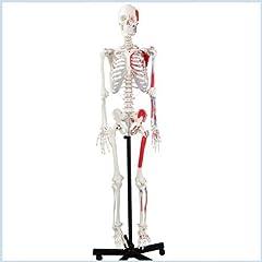 Medical Life-size Anatomical