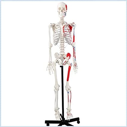 Wellden Medical Life Size Anatomical Human Skeleton Model Muscular Painted Numbered 170cm