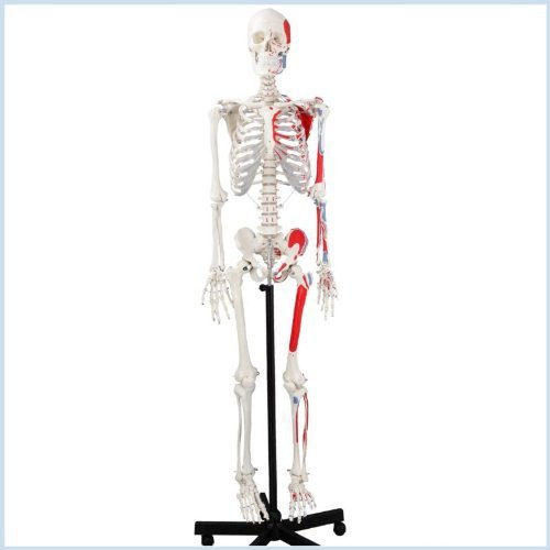 Wellden Medical Life-size Anatomical Human Skeleton Model, Muscular Painted, Numbered, 170cm, w/Nerves, Stand Included - Muscle Skeleton