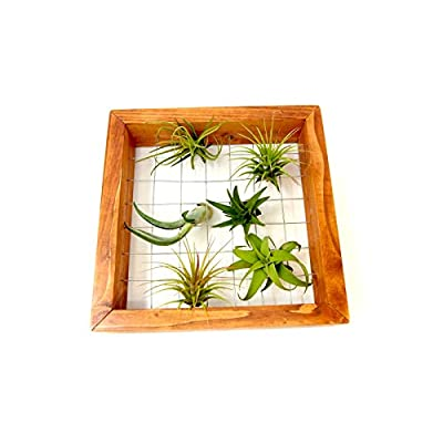 Air Plant Holder   Plant Stand and 5 Hanging Plants   Live Tillandsia Wall Plants   Hang Air Plants   Air Plant Hanger Frame Stand by Plants for Pets : Garden & Outdoor