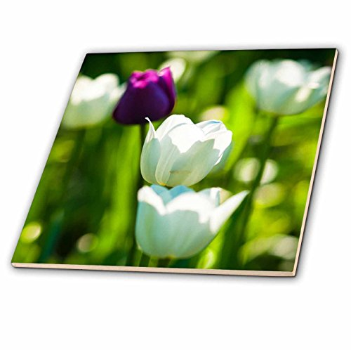 - 3dRose Alexis Photography - Flowers Tulip - White tulips on a sunny spring day - 12 Inch Ceramic Tile (ct_273063_4)