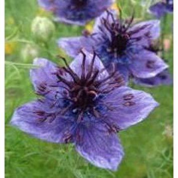 Herb Seeds - Fennel Flower - 2000 Seeds