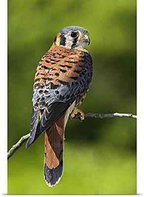 Adam Jones Poster Print entitled Male American Kestrel, Falco sparverius
