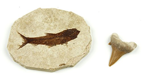 Dancing Bear Fish Fossil (Knightia Eocaena) & Real Shark Tooth (Otodus), 2 Pc Fossil Collection Set Includes ID Cards, Geological Time Scale, Genuine specimens, Science Kit for Kids