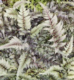 (Japanese Painted Ferns Potted Plants (1 order contains 2 potted plants))