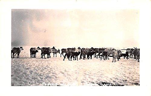 - Reindeer and Fawns Barrow, Alaska postcard