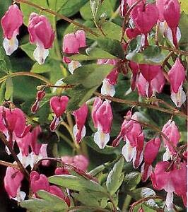 Dicentra (Bleeding Heart) spectabilis Pink 100 Seeds ()
