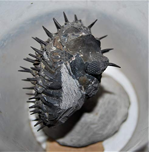 Drotops Spiny Trilobite Fossil Morocco 390 Mill Years Old #14376 28o by Fossils, Meteorites, & More (Image #3)