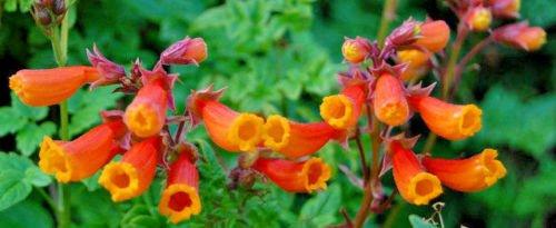 CHILEAN GLORY VINE- FLOWER 105 SEEDS, ECCREMOCARPUS SCABER, RED FLOWERS