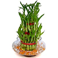 Buy Flower - 3 Layer Lucky Bamboo Plant Indoor with Pot - Live Bamboo Plant in Big Glass Bowl - Great Home/Office Decor