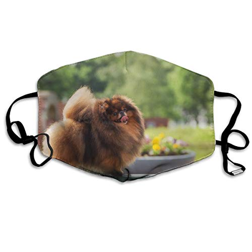 A Brown Pomeranian Dog was Walking On The Ground Dust-Proof Washable Mask - Reusable Mask - Suitable for Men and Women's Masks