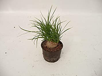 Elefantenfuß 25-30 cm kleine Zimmerpflanze in Hydrokultur für ...