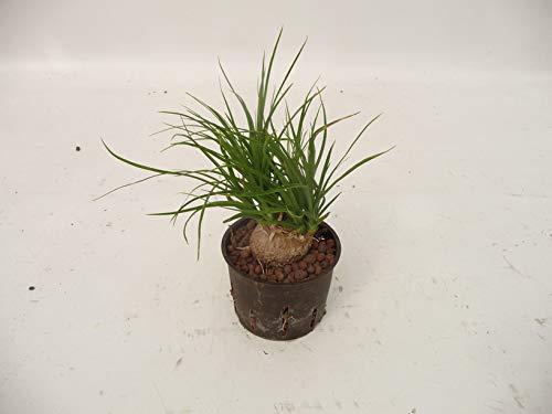 Elefantenfuß 25-30 cm kleine Zimmerpflanze in Hydrokultur ...
