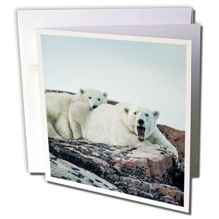 3dRose Danita Delimont - Canada - Canada, Polar Bear and cub resting - 12 Greeting Cards with envelopes ()