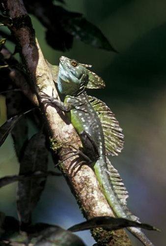 Double-crested Basilisk, Basiliscus Plumifrons. Tortuguero National Park, Costa Rica - 18