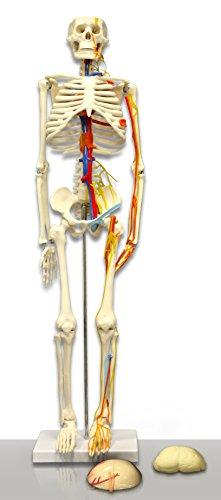 [해외]신경 동맥을 가진 비전 과학적인 VAS241 85CM 인간적 인 해골 / Vision Scientific VAS241 85CM Human Skeleton with Nerves Arteries