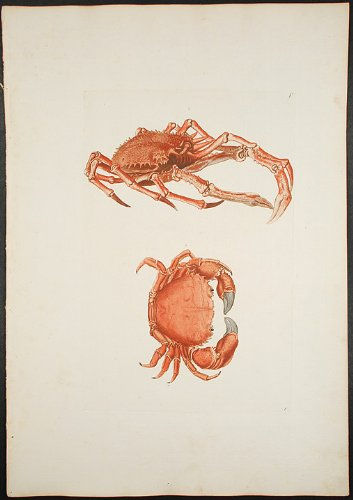 Two Crabs: an Edible Crab and a Spider Crab