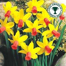 """ Jetfire "" Rockery Narcissi / Daffodil Bulbs : Similar to Tete a Tete : Spring Flowering - FREE UK P & P (25) Cottage Garden Bulbs"