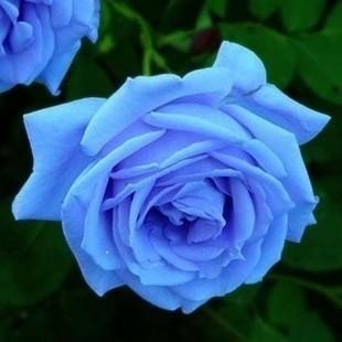 Siam Circus 100 Seeds Blue Rose Flower Seeds Rare Holland Rainbow Rose Flower Lover Plants Home Garden Rare Rainbow