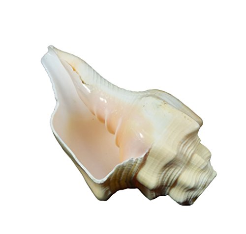 Conch Horn - Chank Horn Seashell, 7'' to 8'', 1 Piece