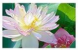 ''Beautiful Dancer'' (Pink) Oriental Lotus Live Aquatic Plant Grown in Licensed Florida Aquatics Plants Nursery