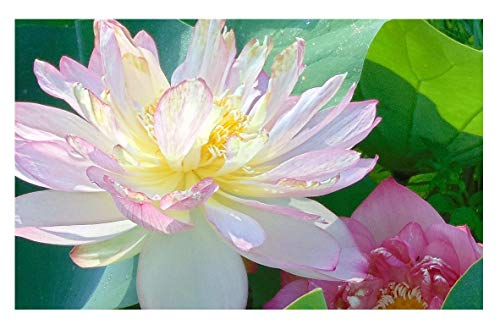 'Beautiful Dancer' (Pink) Oriental Lotus Live Aquatic Plant Grown in Licensed Florida Aquatics Plants Nursery