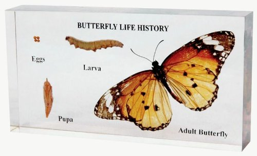 School Specialty Butterfly Life Cycle Specimen Block