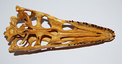 VELOCIRAPTOR Dinosaur Skull Cast (Replica - NOT REAL FOSSIL - Reproduction) by Fossils, Meteorites, & More (Image #5)