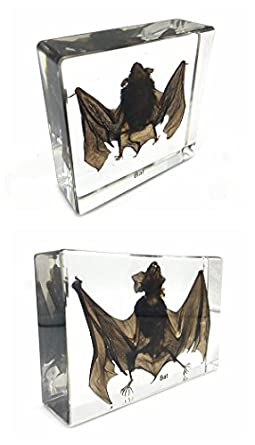 Taxidermy Real Bat Specimens Science Classroom Specimen For Science