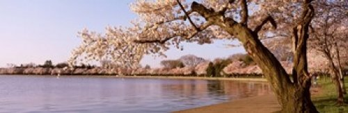 Cherry blossom tree along a lake Potomac Park Washington DC USA Poster Print (36 x 12)