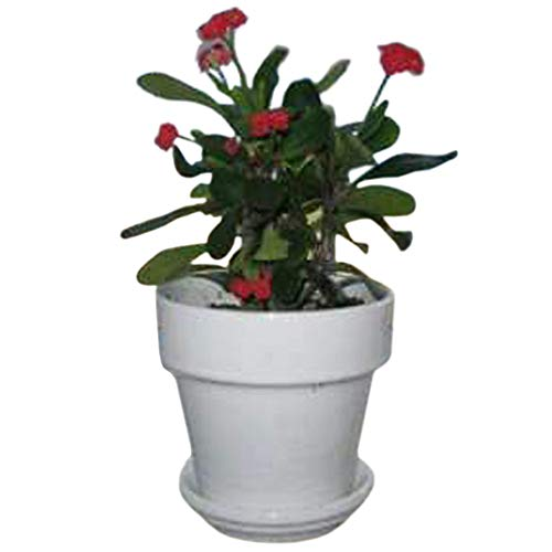 9GreenBox  Red Crown of Thorns Plant  Euphorbia splendens  4quot Pot