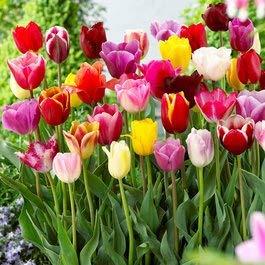 (20 Landscape Mixture Tulip Bulbs - Tulipa Triumph)