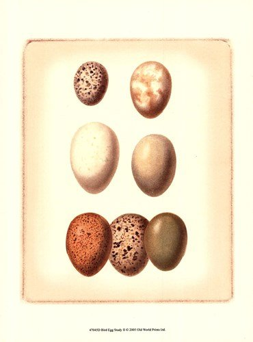 Bird Egg Study II by Vision Studio - 9.5x13 Inches - Art Print - Vision Studio Egg Study Bird