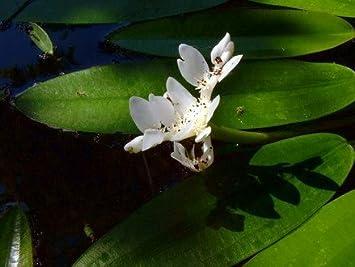 Aponogeton distachyos im 9x9 cm Topf Afrikanische Wasser/ähre