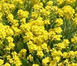 Alyssum Basket of Gold Aurinia Saxatilis - 2,500 Bulk Seeds