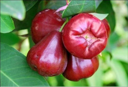 9EzTropical -Taiwan Black Dinamond Wax Apple Fruit Tree - 2 to 3 Feet Tall - Ship in 1 Gal Pot 3' Wax