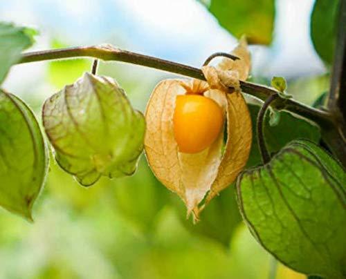 Plant House Live Rasbhari/Golden Berry Medicinal Plant: Amazon.in: Garden &  Outdoors